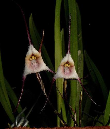Растения из Тюмени. Краткий обзор - Страница 3 Dracula_sergioi1