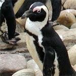 Pingüino de El Cabo / Foto: Adrian Pingstone -GNU