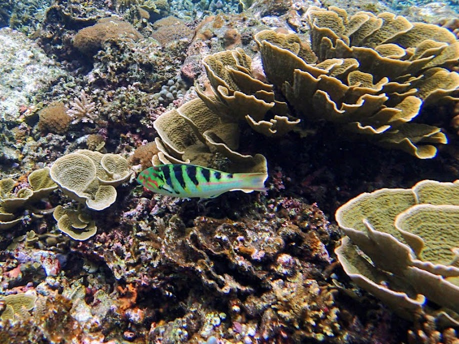 Thalassoma hardwicke (Six-bar Wrasse), Small Lagoon, Miniloc Island, Palawan, Philippines.