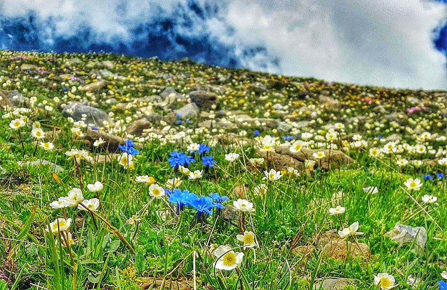 Mountain wildflowers seen descending from the Faulhorn to the Bussalp in the Jungfrau region of Switzerland.