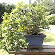 16 Ficus pendunculosa.JPG