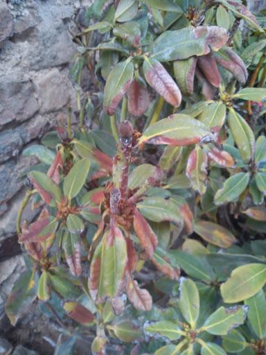 rhododendron remettre sur pied au jardin forum de jardinage. Black Bedroom Furniture Sets. Home Design Ideas