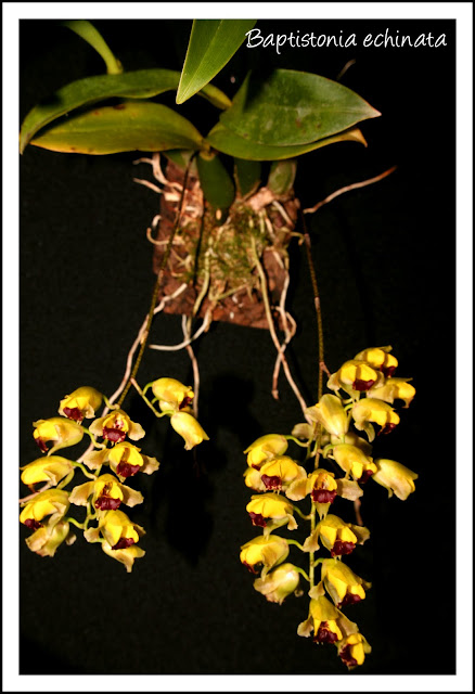 Растения из Тюмени. Краткий обзор Baptistonia%252520echinata