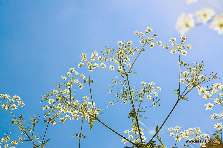 Цветы в Галилее.