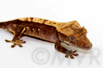 Momo - Sweet harlequin crested gecko from tricolor project at moonvalleyreptiles.com