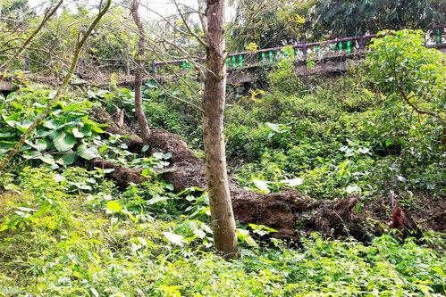 斗六-湖山里楓樹湖楓香 500高齡的大楓樹已傾圮多年