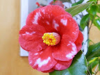 朱紅色地 白斑入り 八重咲き 花弁はやや中折れ 筒しべ 中〜大輪