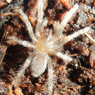 Cyclosternum fasciatum Costa Rican Tiger Rump Tarantula