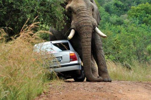 Si vas en coche y te encuentras con un elefante ni se te ocurra
