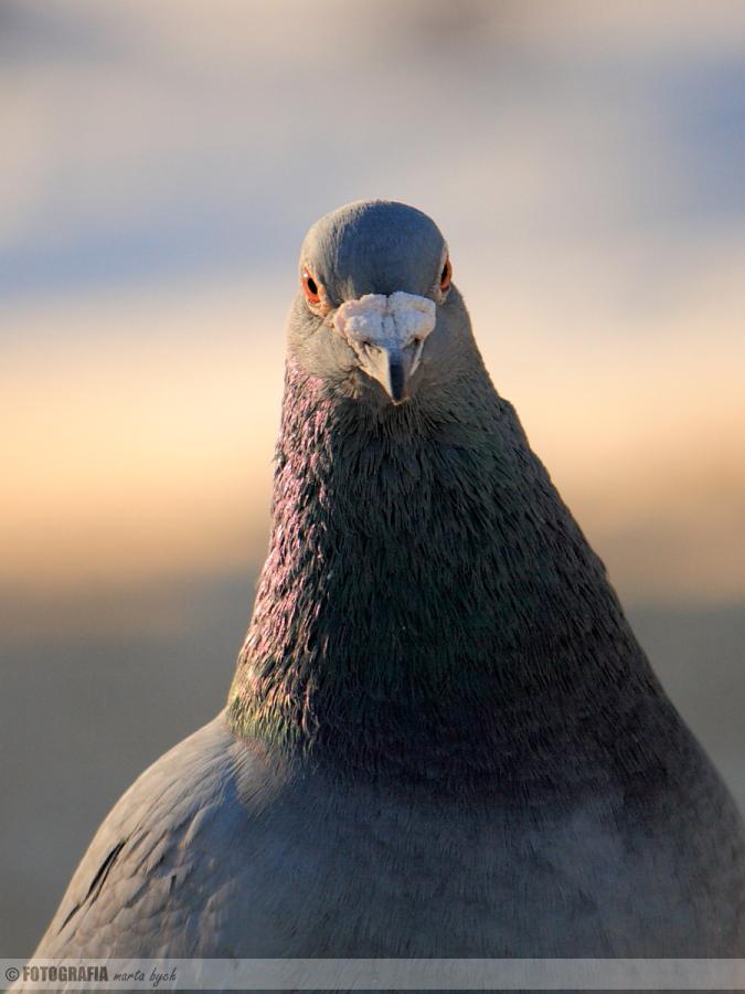 gołąb, ptak