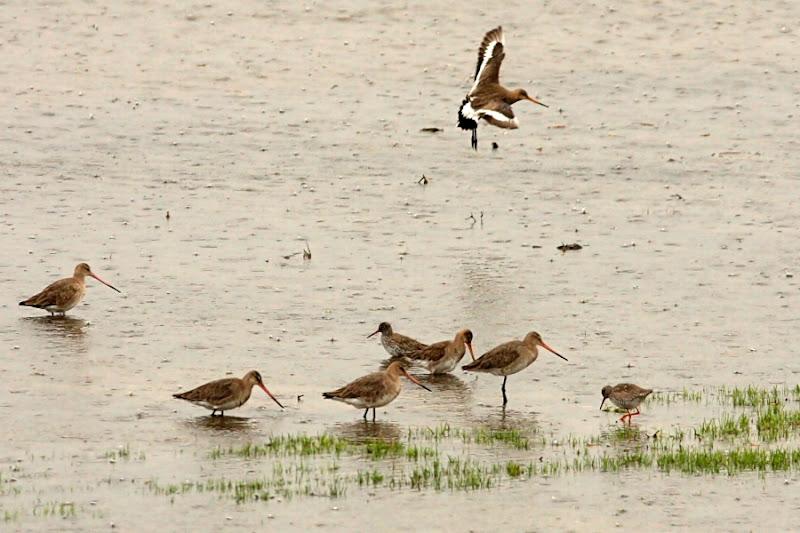Comana ploaie pasari birdwatching