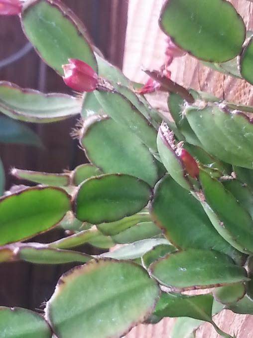 fleur de Rhipsalidopsis (corrigé) 20140619_182907
