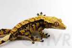 Crested_Gecko-IMG_6869-2012-02-18