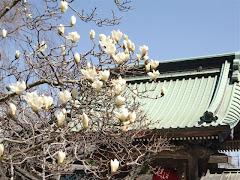 長谷寺のハクモクレン