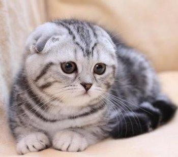 ผลการค้นหารูปภาพสำหรับ шотландская вислоухая кошка цена
