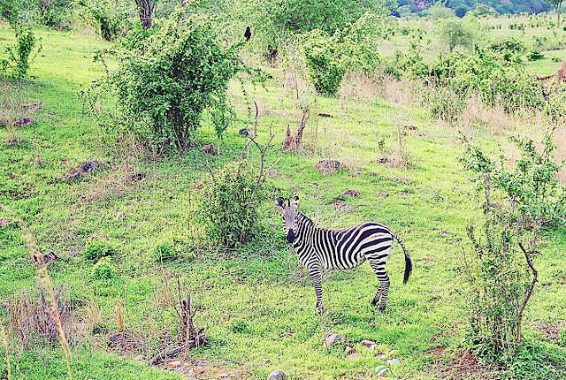 single zebra amidst foliage