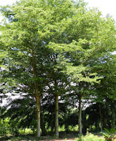 Cây bàng Đài Loan - thích hợp trồng công trình