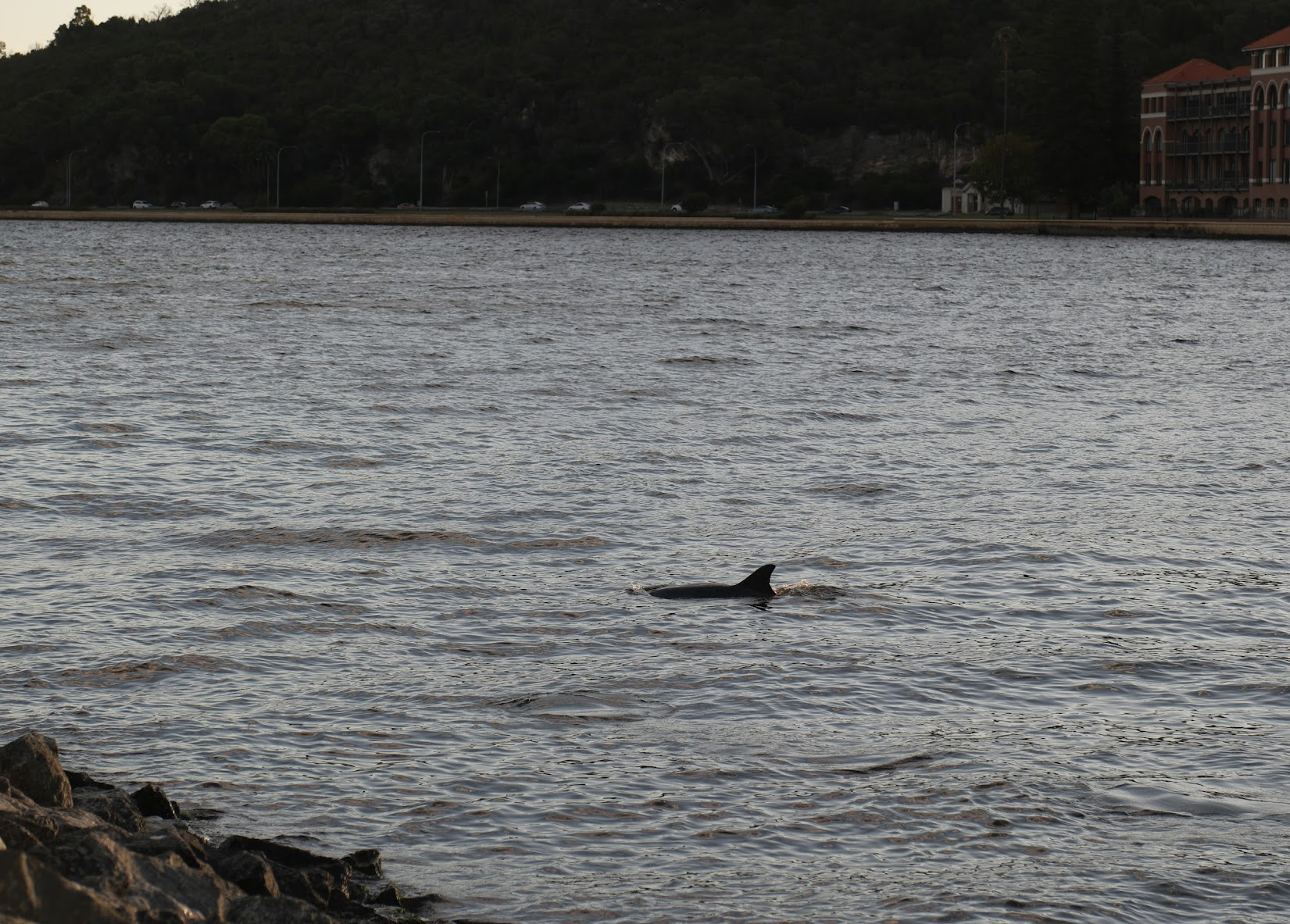 A dolphin surfaces near the Narrows and Old Swan Brewery.