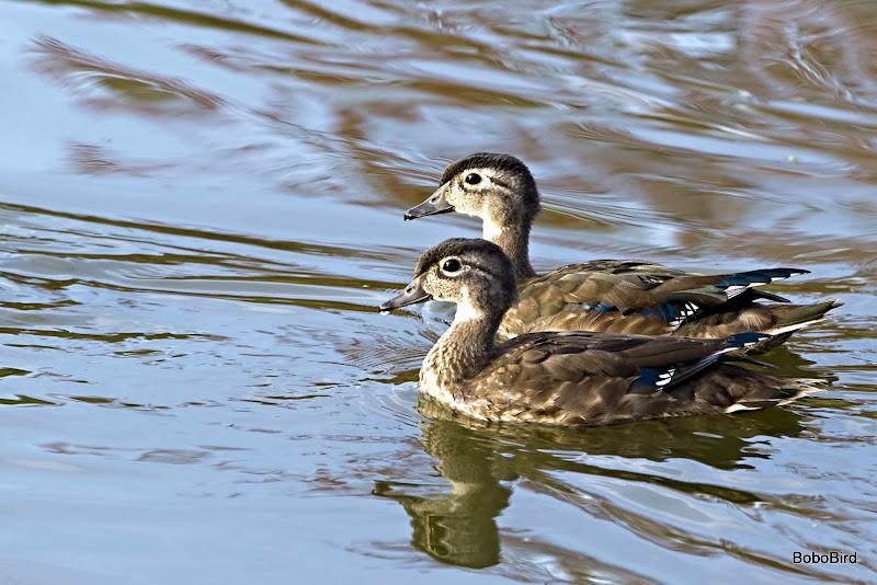 Quackies