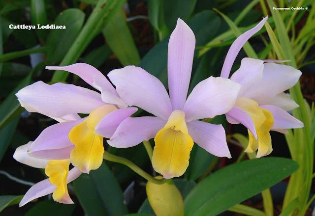 Растения из Тюмени. Краткий обзор - Страница 2 Catt%25252520Loddiaca31
