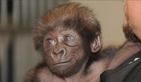 γοριλάκι,κρόνιοι μεταλλαγμένοι,ανατροφή γορίλα,gorilla,cronian mutated,bring up gorilla