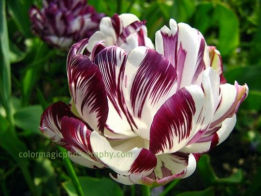 white-purple tulip-macro