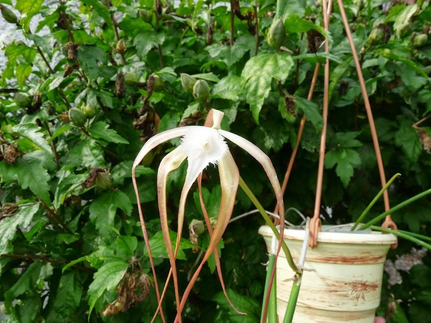 Brassavola cucullata P1430045