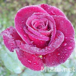 Wallpaper Bunga Mawar Pink Bergerak