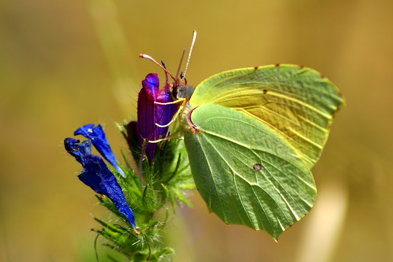 Borboleta amarela - Gonepteryx cleopatra