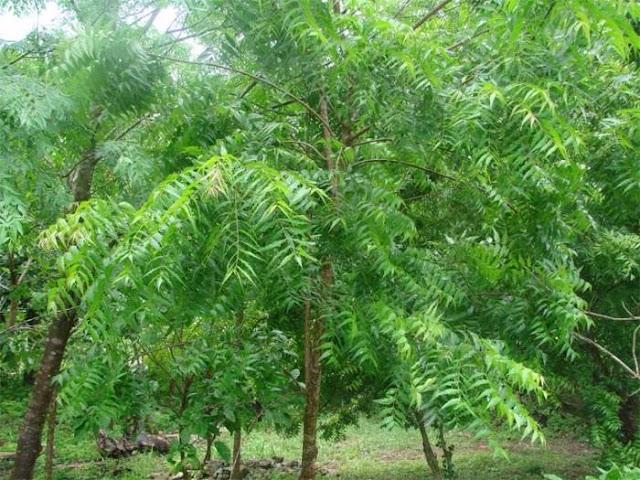 The Neem Tree (Summary)