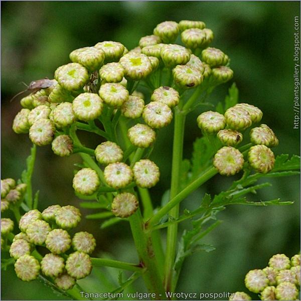 Tanacetum vulgare buds buds flower - Wrotycz pospolity pąki kwiatowe