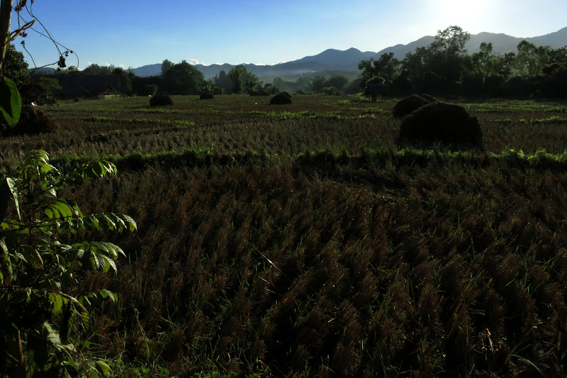 Harvested rice field near Pai