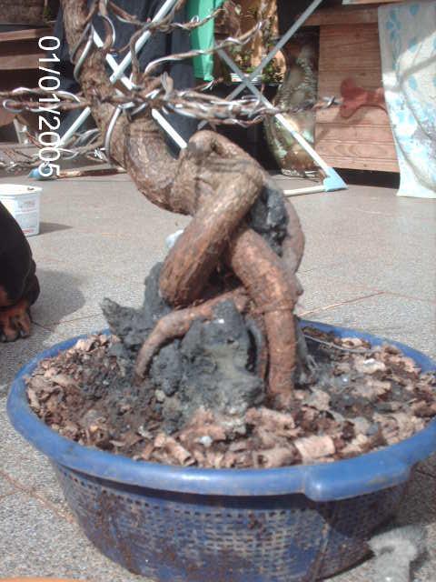 Ficus Nerifolia, Uma raiz de 3 anos... PICT1060