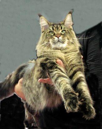 ANIMALI: A SUPERCAT SHOW IL GATTO PIU' BELLO DEL MONDO