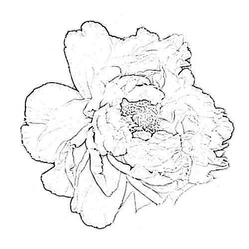 Peony Flower Sketch Image Sketch