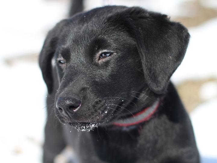 sally black labrador retriever mix puppy