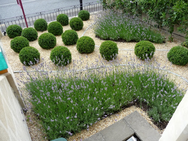 Modern Country Front Garden design lavender topiary