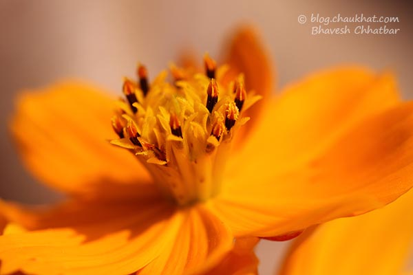Cosmos orange flower [Cosmos sulphureus of Asteraceae/Sunflower family]