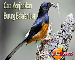 Cara Menjinakkan Burung Bakalan Liar