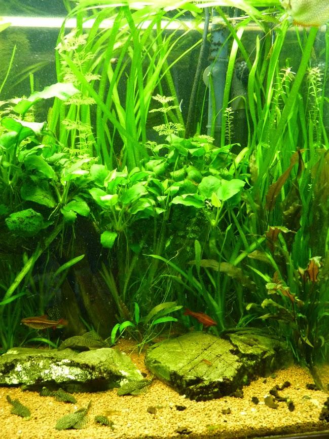 Ma petit histoire Aquariophile de 2009 à aujourd'hui  P1060197