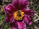 Пчела на пионе