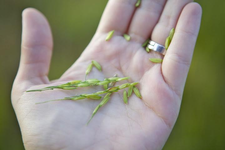 Ако сте се питали, овако изгледа пиринач