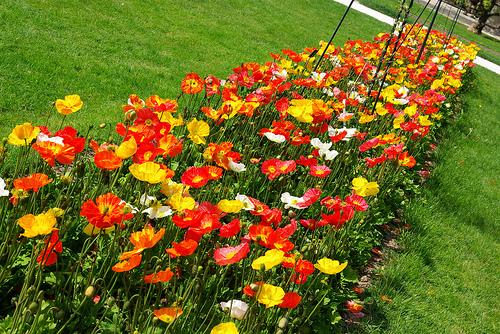 flores e jardins fotos: florescem soltam suas sementes e morrem completando seu ciclo de vida