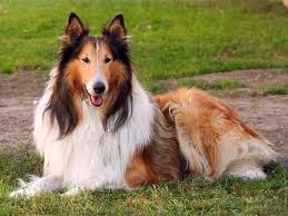 top 10 family dogs collie