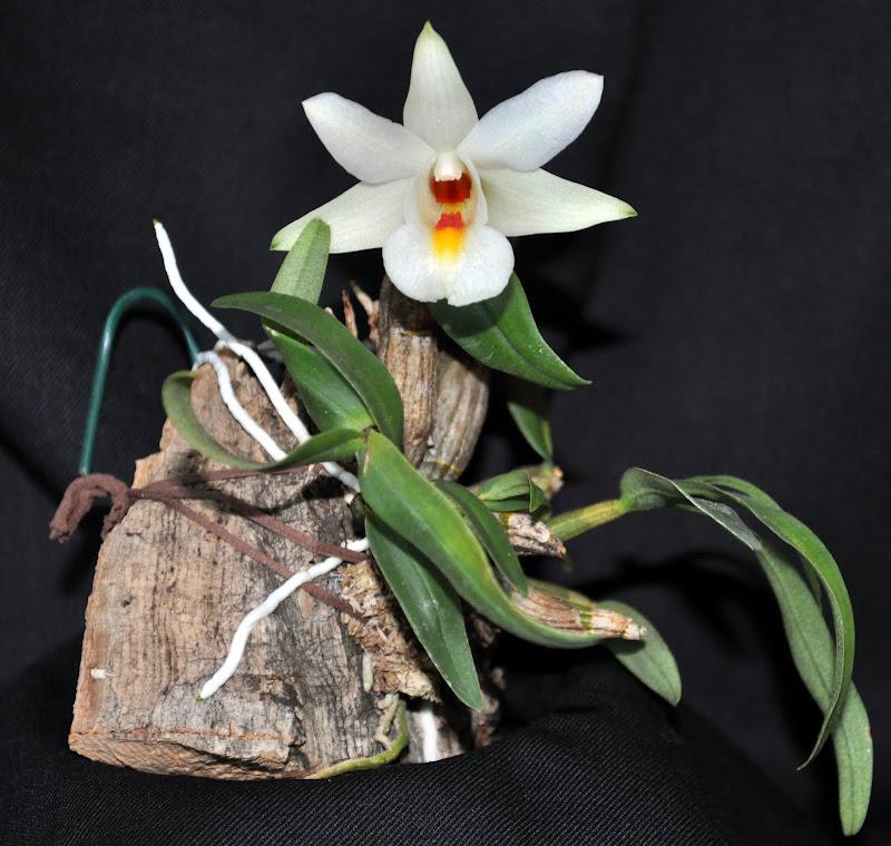 Dendrobium margaritaceum DSC_0001-001