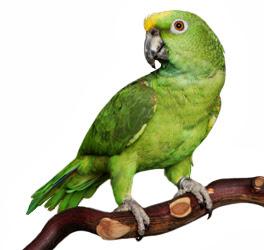 Papagaio do Governo