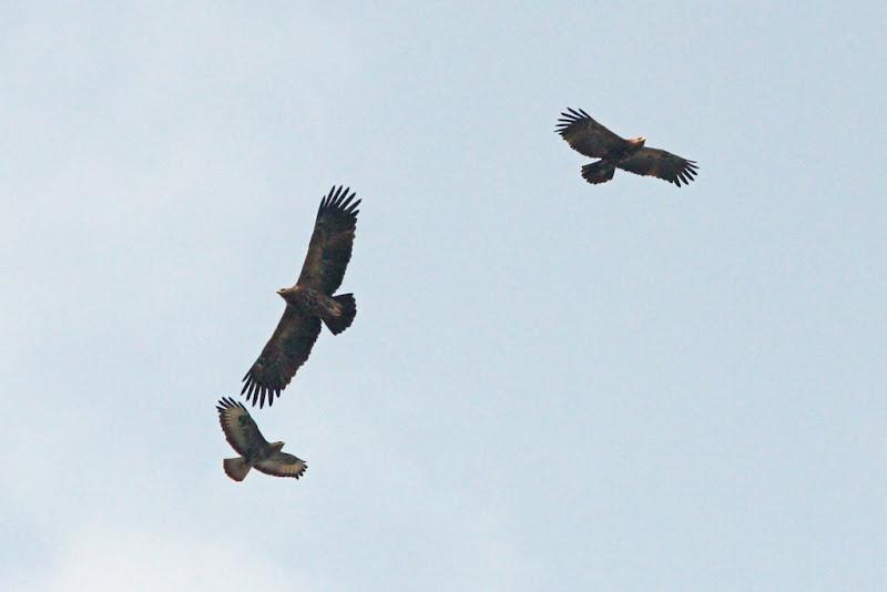 sorecar comun acvila tipatoare mica pasari prada Fundata birdwatching