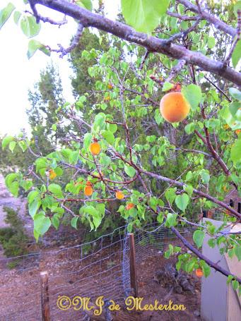 Ripe Apricots, June 21st