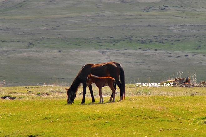 Horses, Kars, Turkey