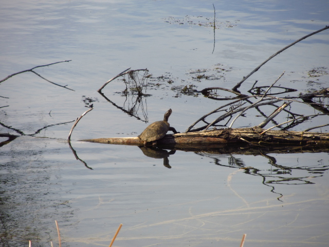 one turtle on a log